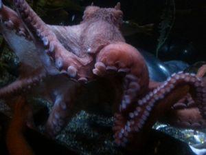 octopuss 5-17-15