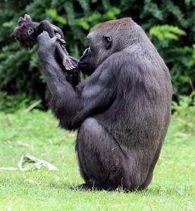 Zoo M¸nster - Gorilla-Mutter Gana mit ihrem toten Sohn Claudio, der im Alter von drei Monaten gestorben ist 17.08.2008 muenster gorilla baby claudio ( 3 monate ) ist verstorben . mutter gana ( 11 ) trauert um ihr kind und traegt es immer hinter sich her bzw auf dem ruecken .   E.T. 18.08.2008 Bild Bund / ©