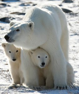 ** FOR IMMEDIATE RELEASE ** ** FILE **  A polar bear mother and her two cubs are shown in Wapusk National Park on the shore of Hudson Bay near Churchill, Manitoba, Canada in this Nov. 6, 2007 file photo. (AP Photo/The Canadian Press, Jonathan Hayward, File)