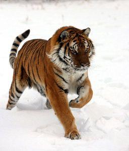 tigers 7
