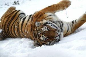 tigers12