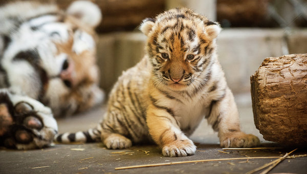 endangered siberian tiger essay Essay/term paper: the siberian tiger essay, term paper, research paper: science the siberian tiger is now very rare and on the endangered species list.