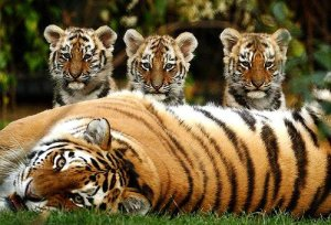 tigers20