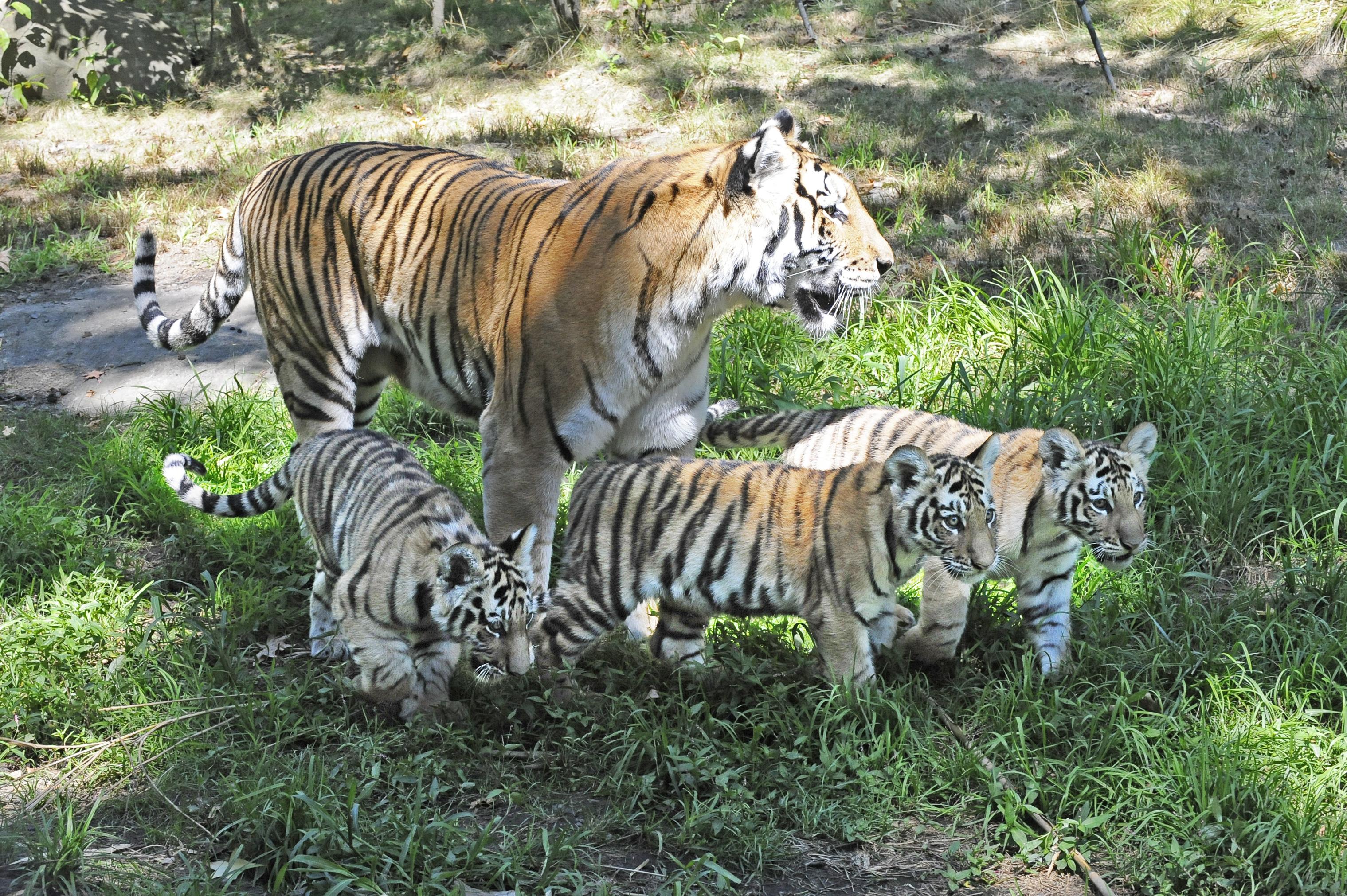 Siberian Tiger Life Cycle