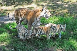 tigers21