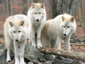 wolf12