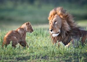lion15