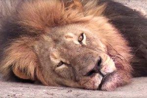 lion16