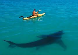 sharks18