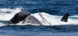 whales26spermvsorcas
