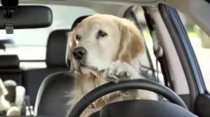 chinesedogdriving17
