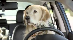 chinesedogdriving17