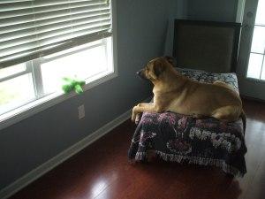 chinesedogguarding27